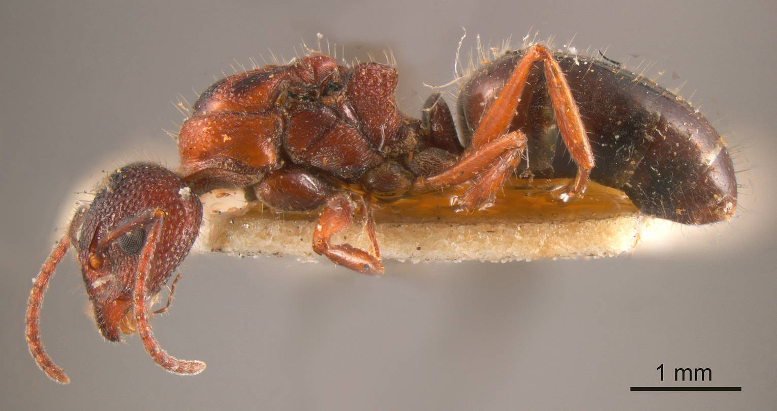 Image of Dolichoderus formosus