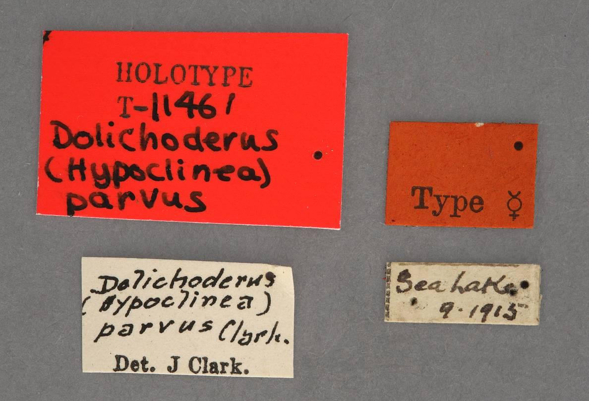 Image of Dolichoderus parvus