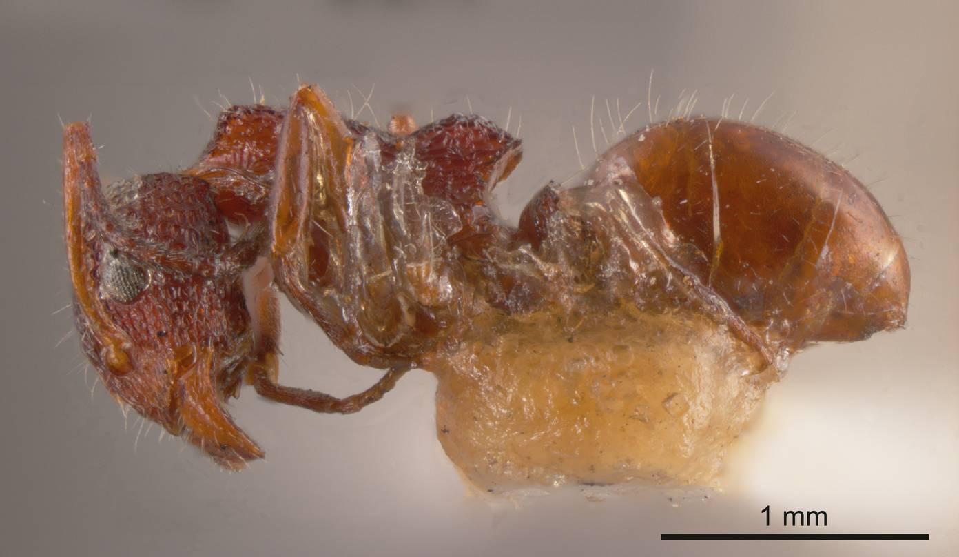 Image of Dolichoderus reflexus