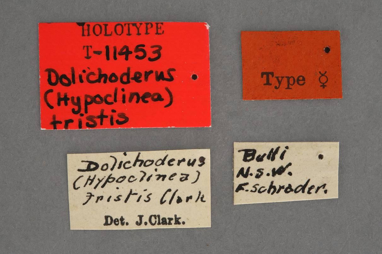 Image of Dolichoderus tristis