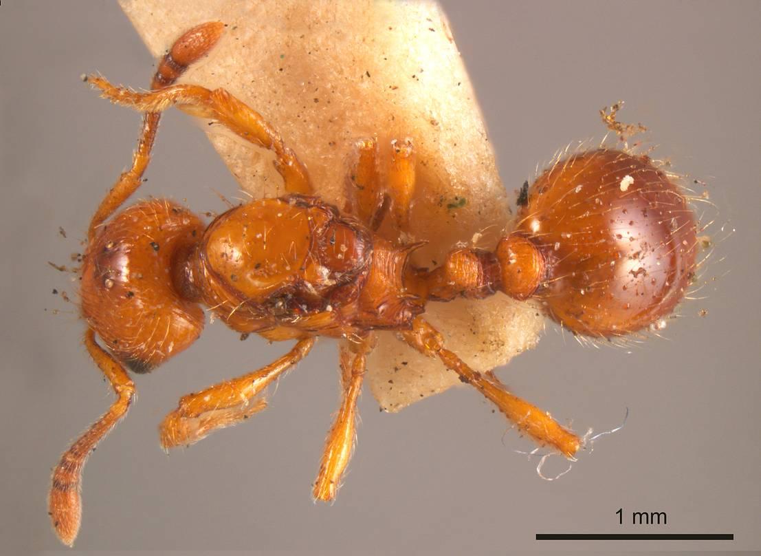Image of Monomorium sculpturatum