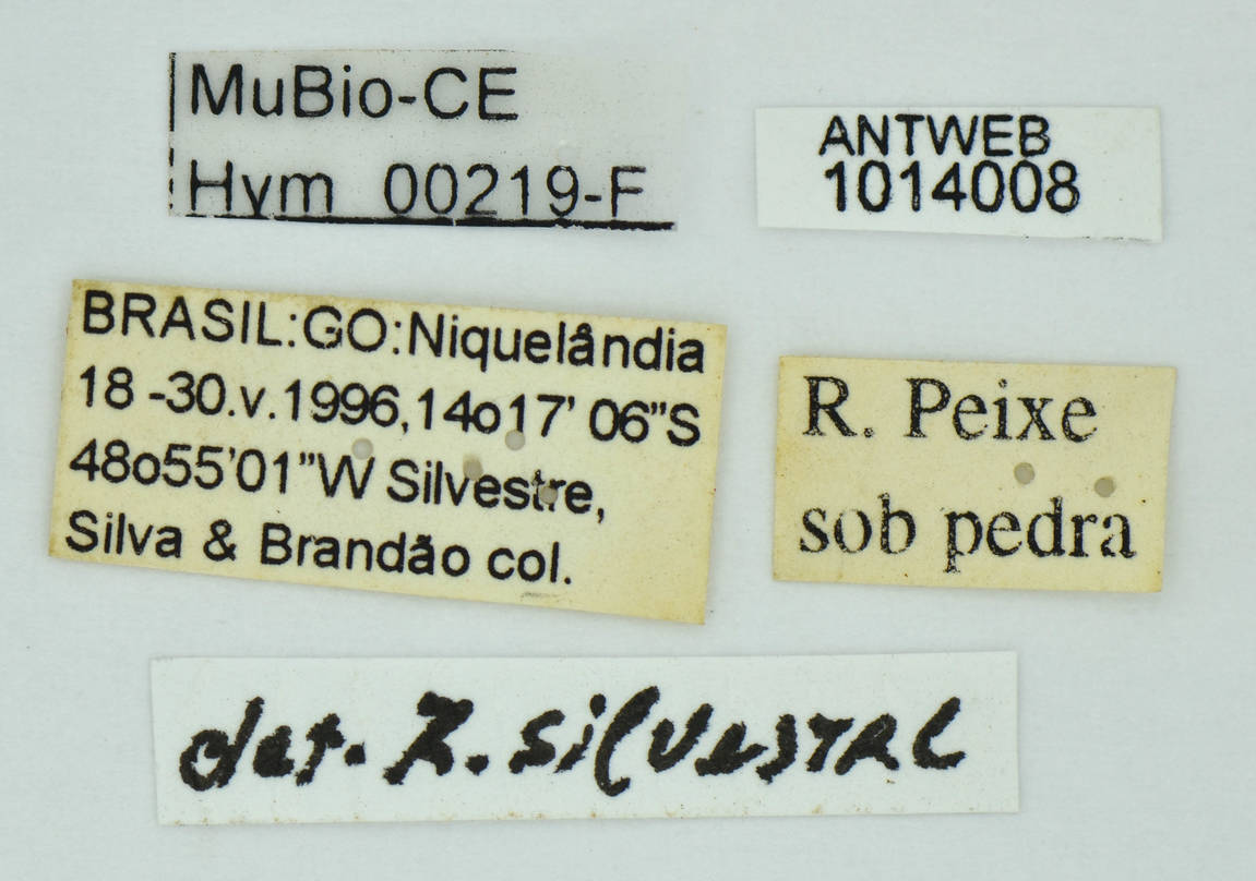 Image of Megalomyrmex acauna