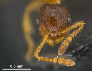 Genus: Leptothorax - AntWeb