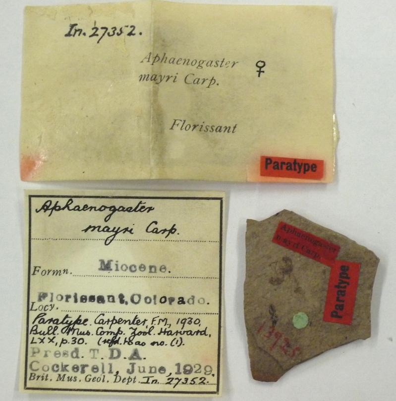 Aphaenogaster mayri image
