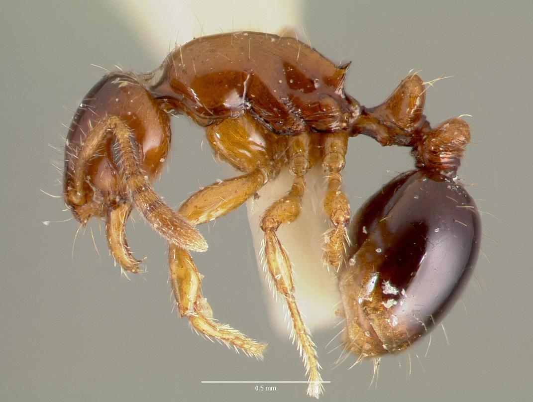 Image of Oxyepoecus inquilinus