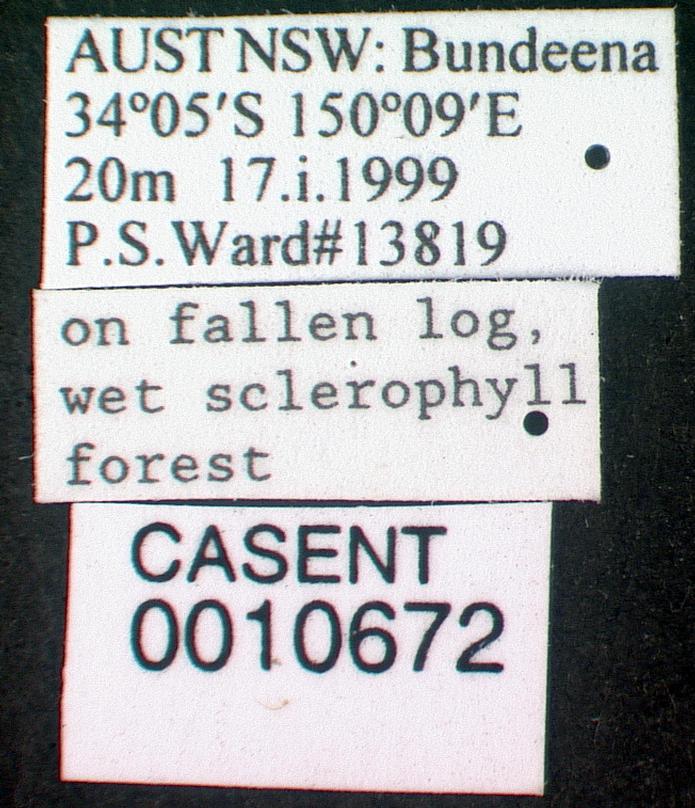 Image of Dolichoderus scabridus
