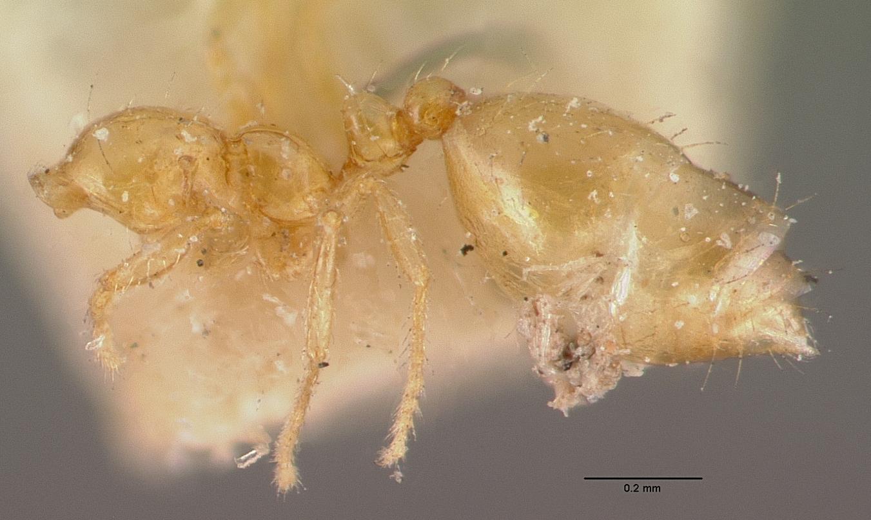 Image of Monomorium termitobium