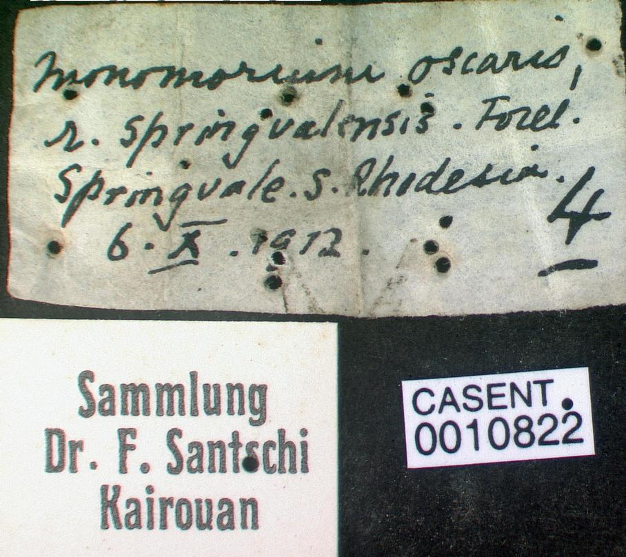 Image of Monomorium springvalense