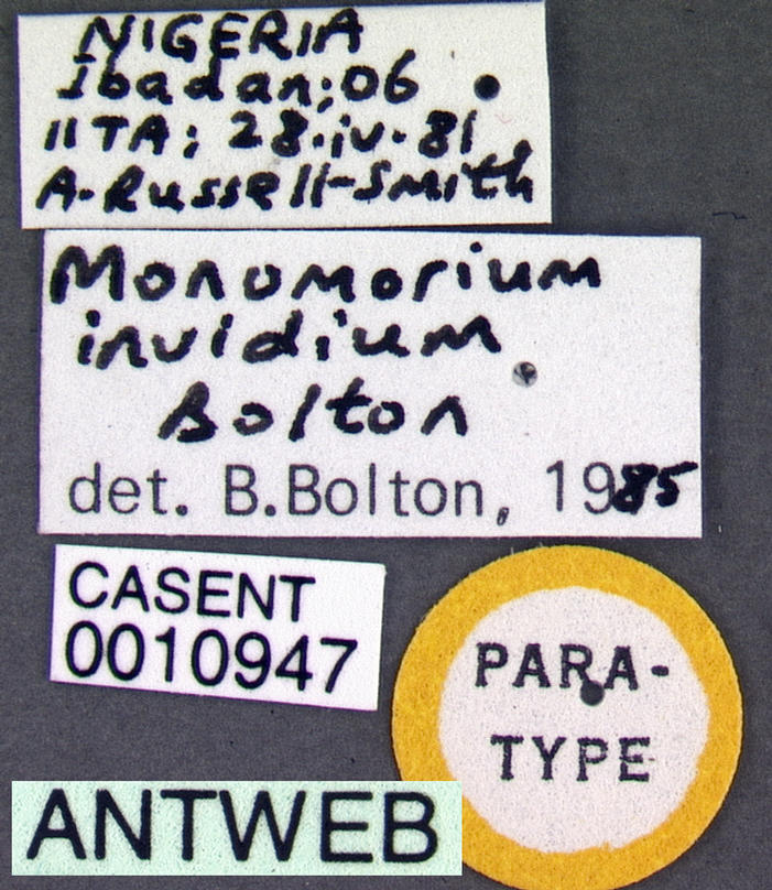 Image of Monomorium invidium