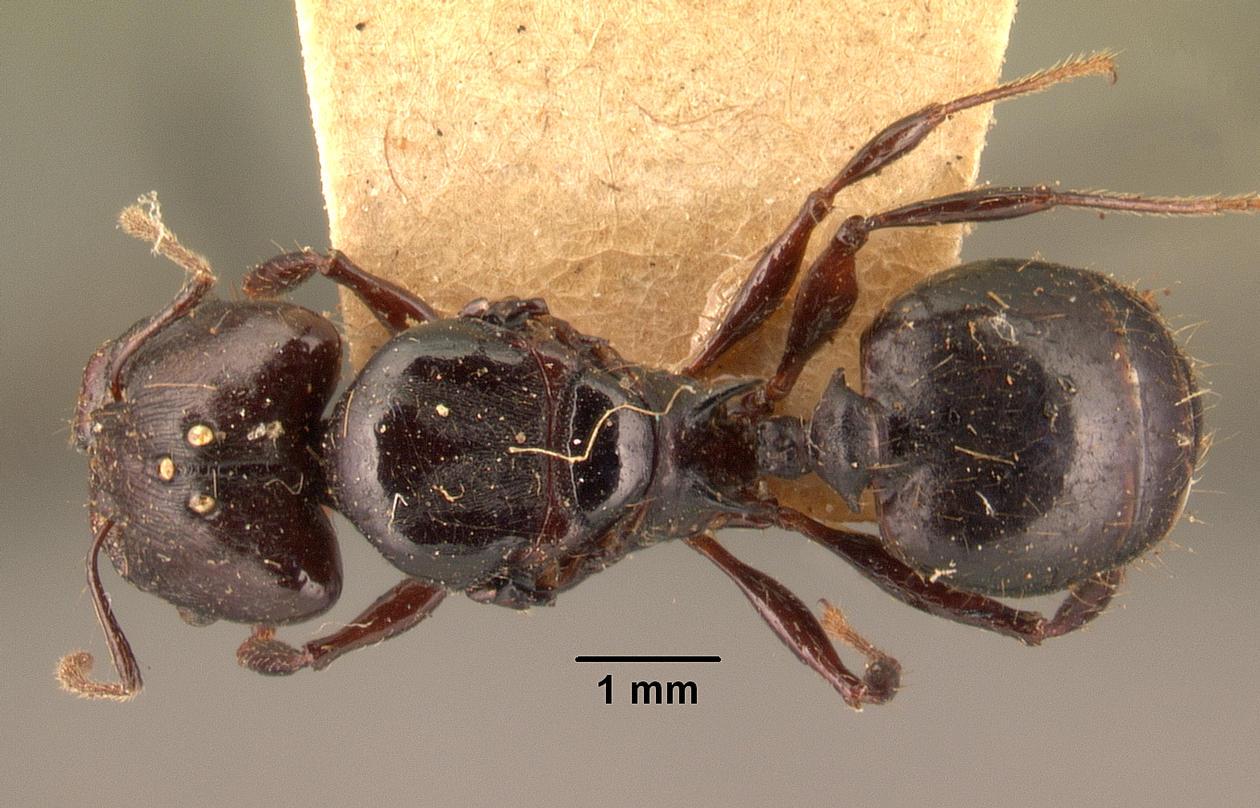Image of Pheidole longispinosa