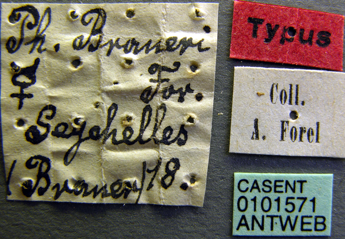 Image of Pheidole braueri