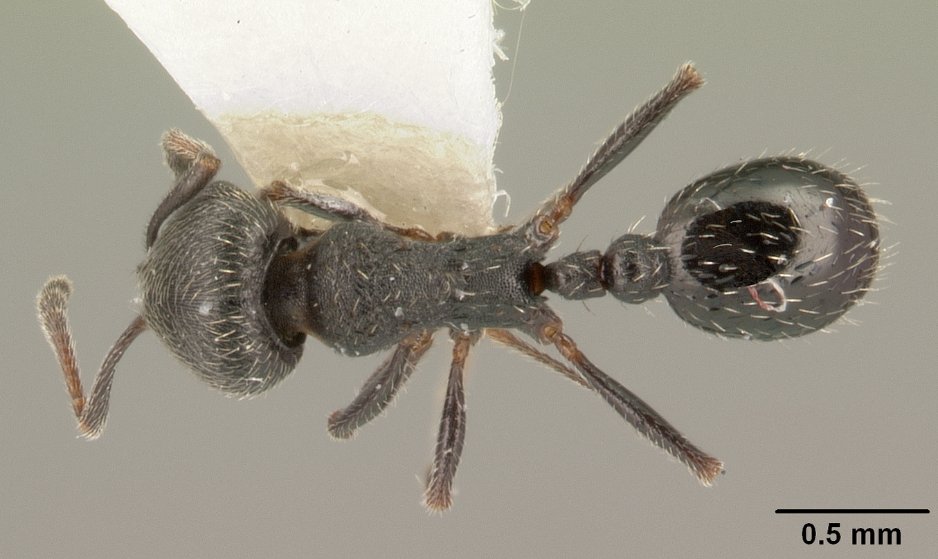 Image of Oxyopomyrmex oculatus