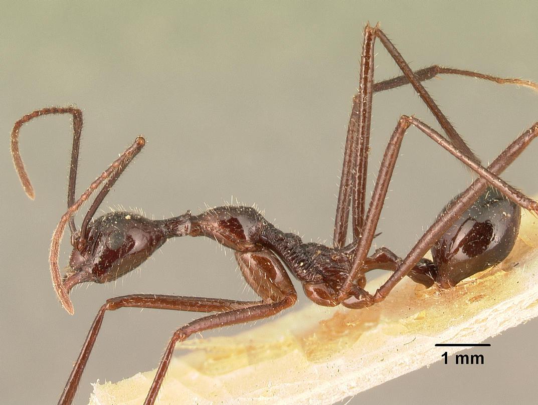 Image of Aphaenogaster gonacantha