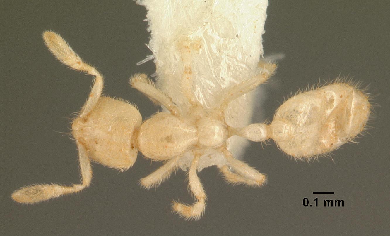 Image of Anillomyrma tridens