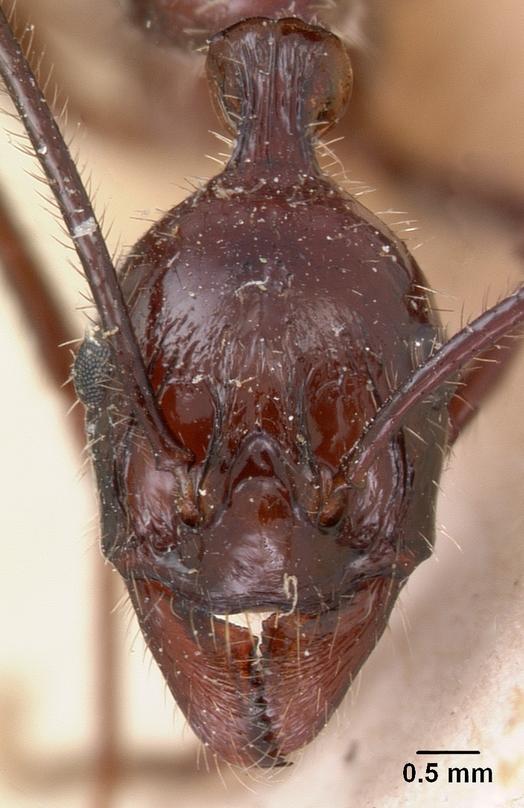 Aphaenogaster gonacantha image