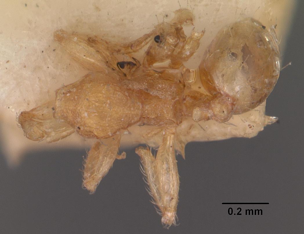 Image of Pheidole parva