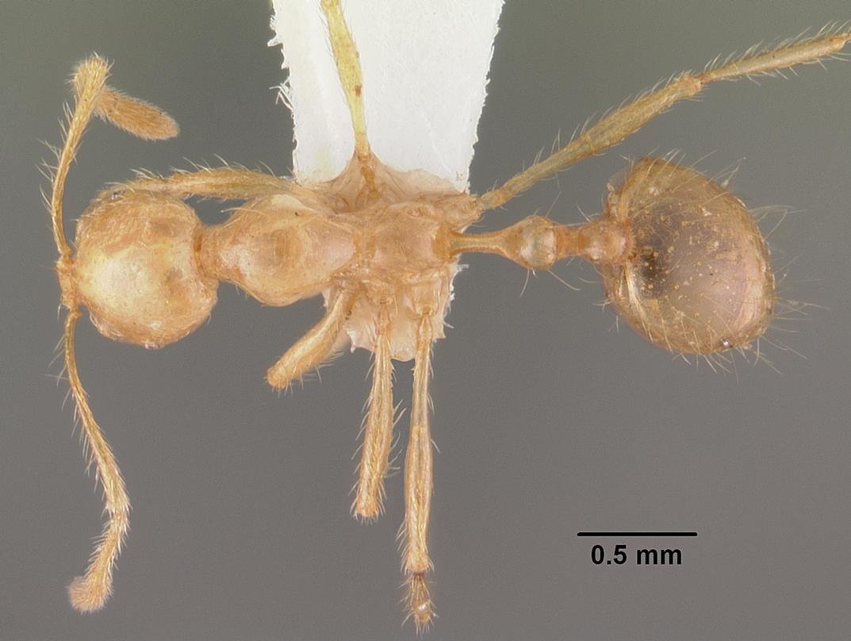 Image of Epelysidris brocha