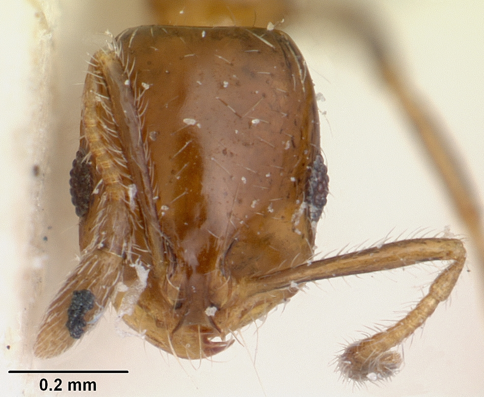 Image of Solenopsis oculata