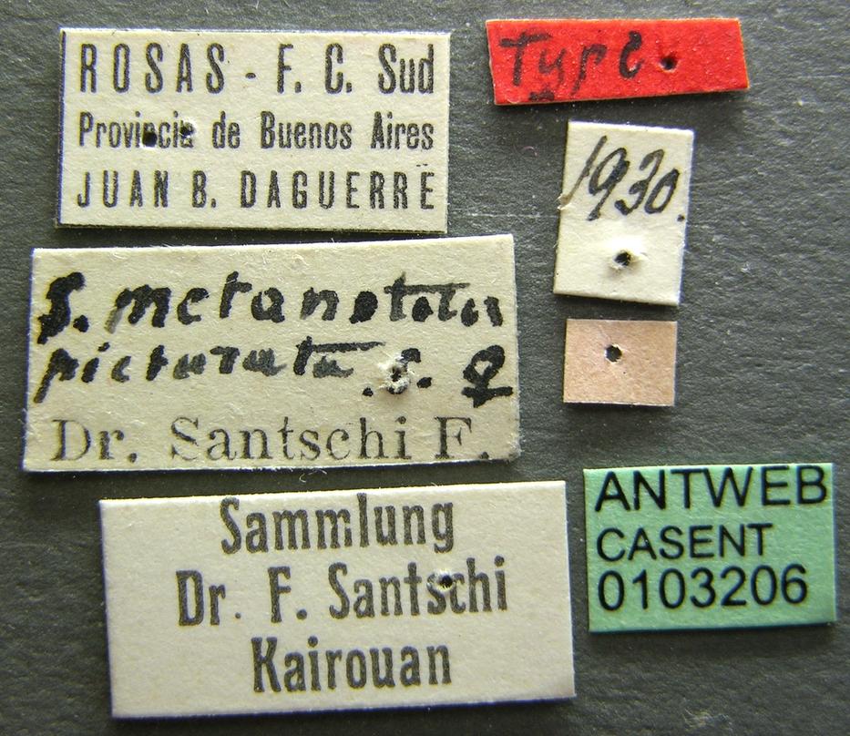 Image of Solenopsis metanotalis