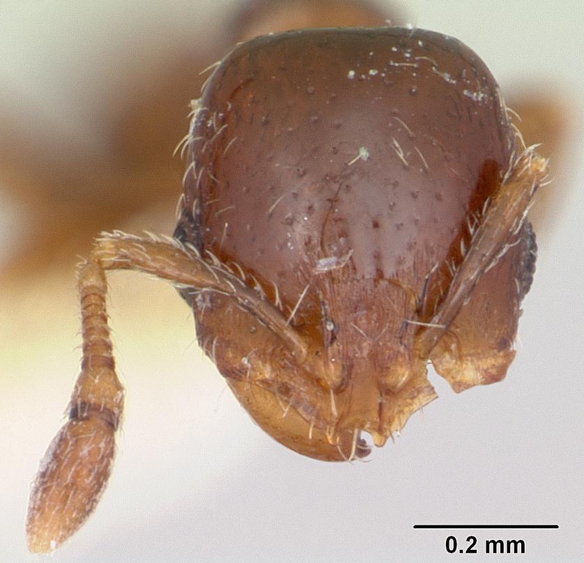 Image of Solenopsis photophila