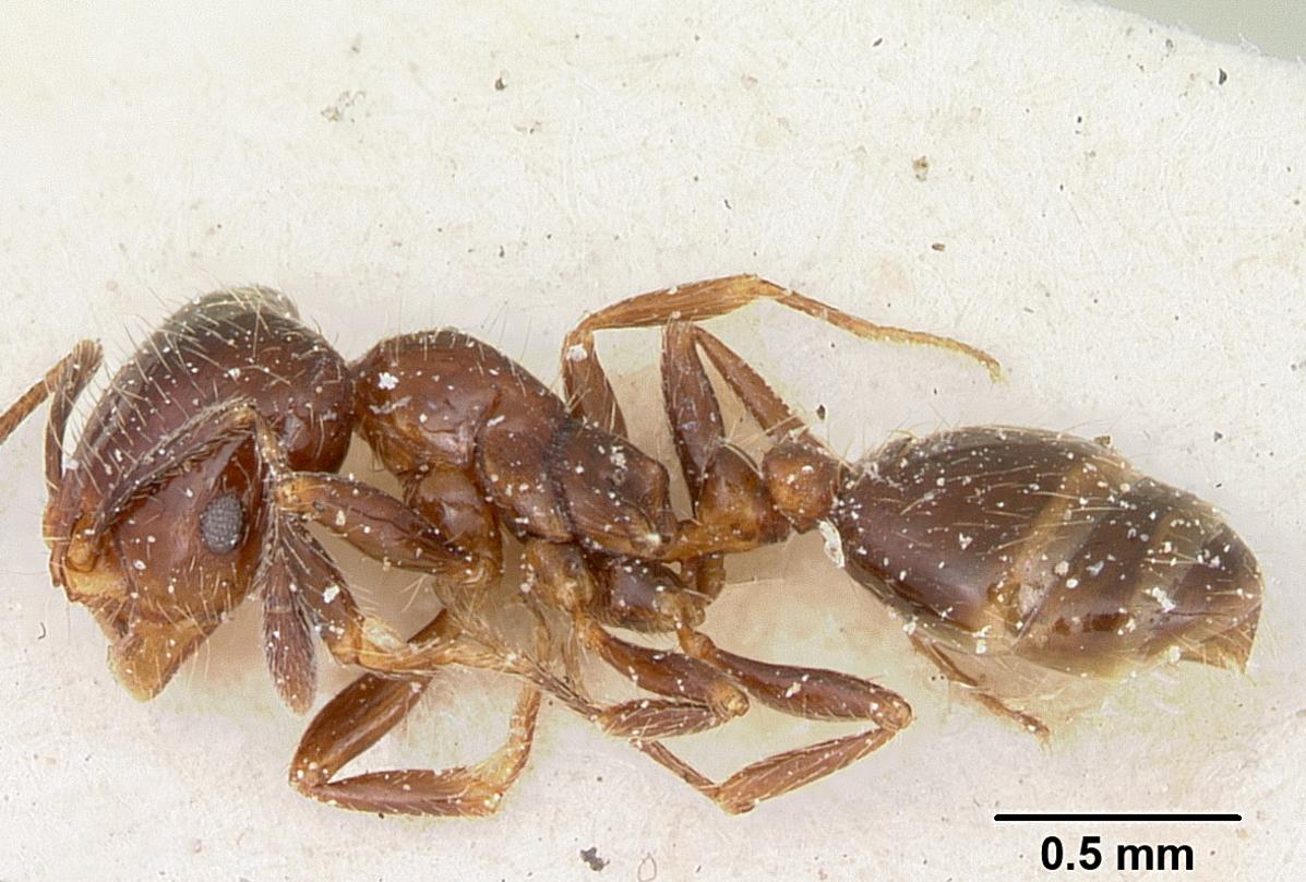 Image of Solenopsis andina