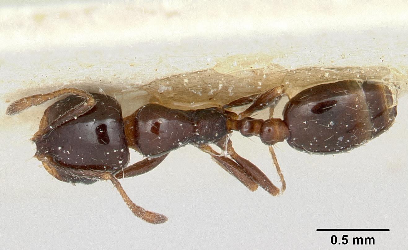 Image of Solenopsis schilleri