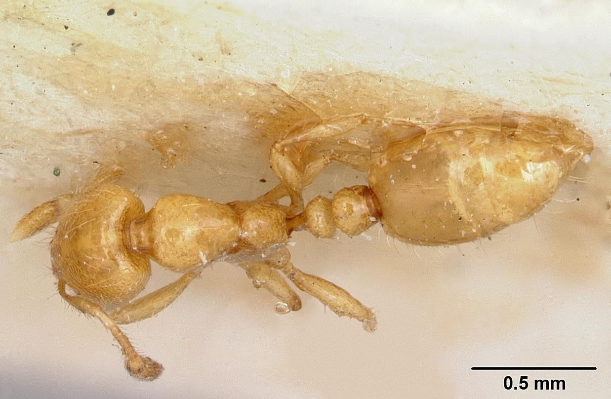 Image of Solenopsis joergenseni