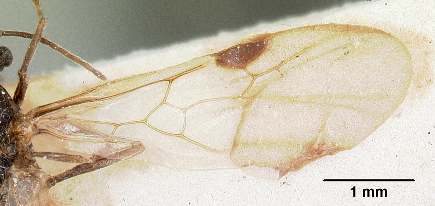Image of Solenopsis patagonica