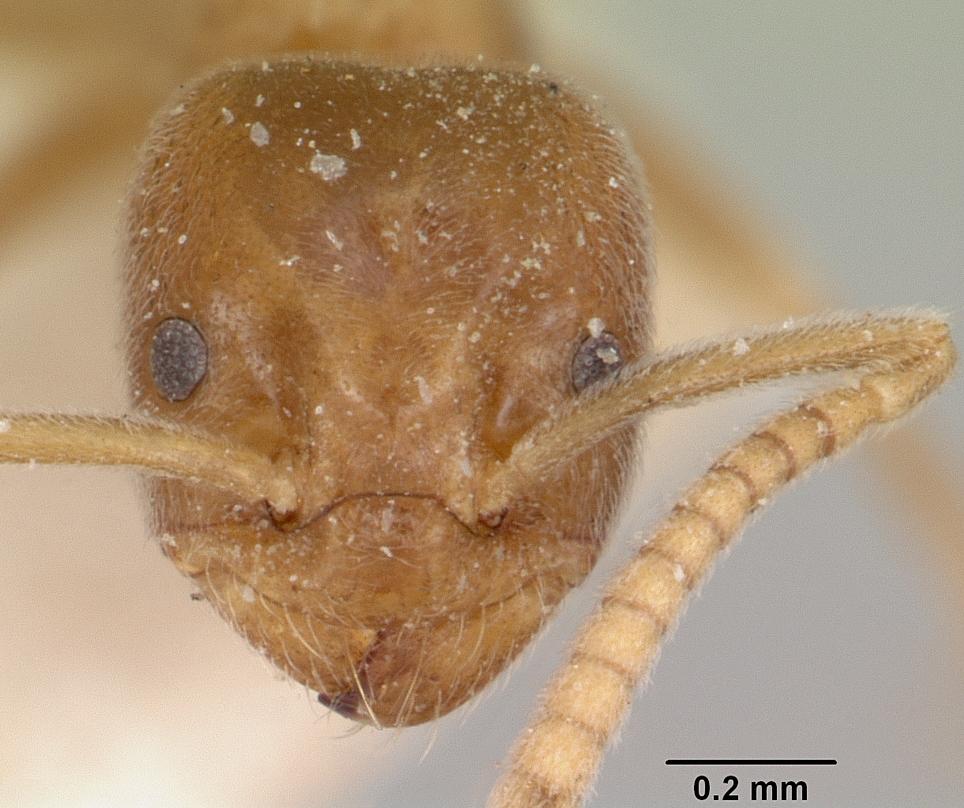 Image of Bothriomyrmex pubens