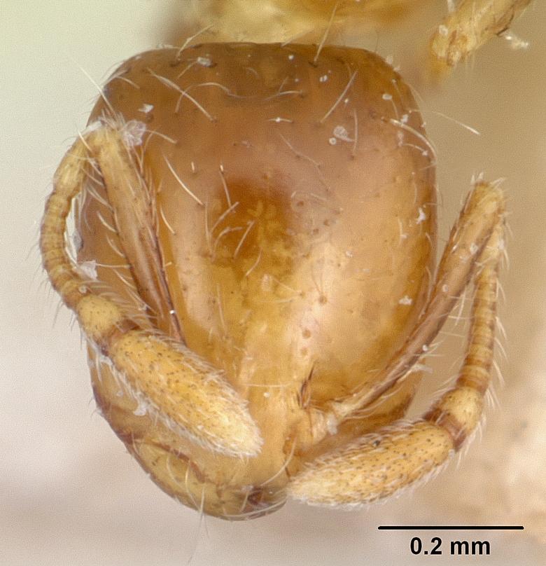 Image of Solenopsis major