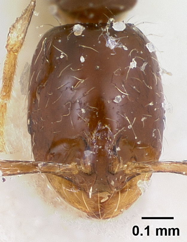 Image of Solenopsis loretana