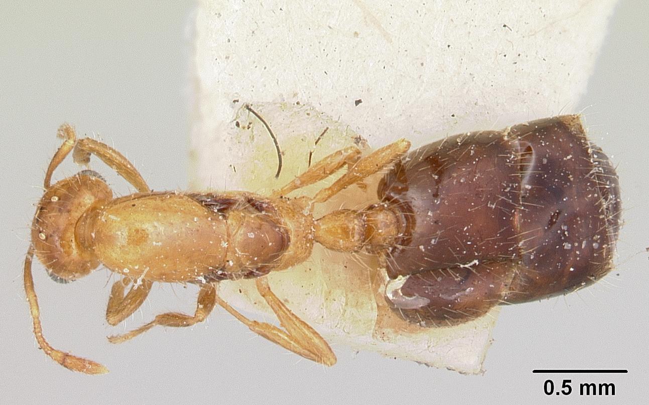 Image of Solenopsis basalis