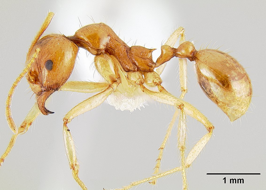 Image of Aphaenogaster pythia