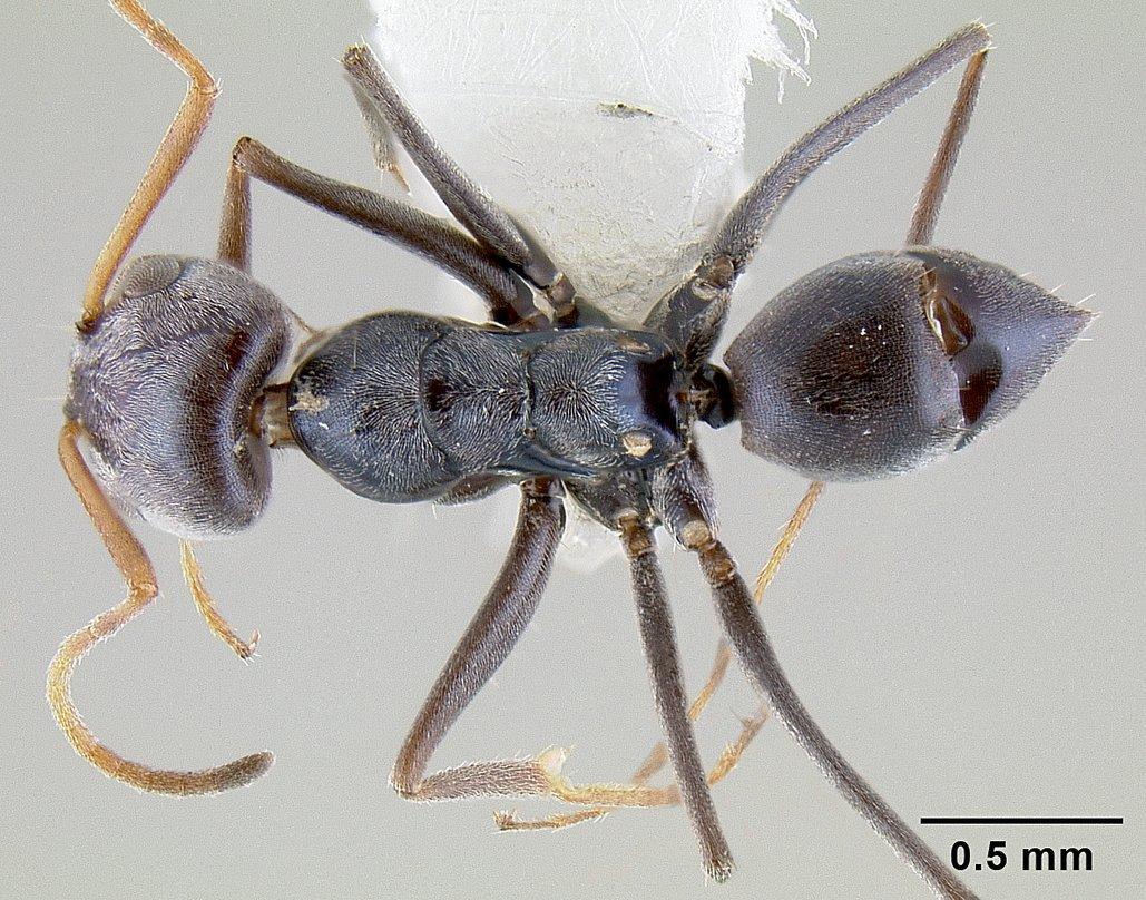 Image of Forelius chalybaeus