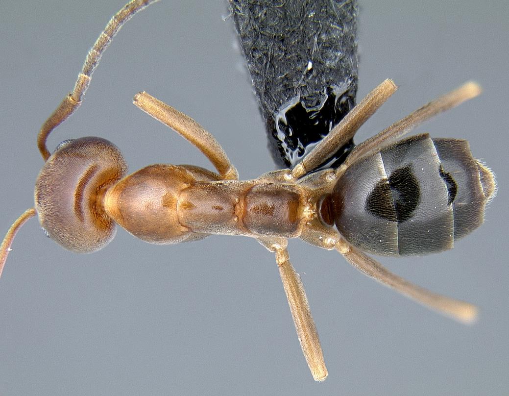 Image of Linepithema oblongum
