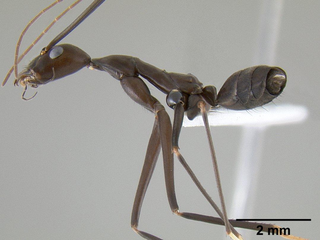 Image of Leptomyrmex niger