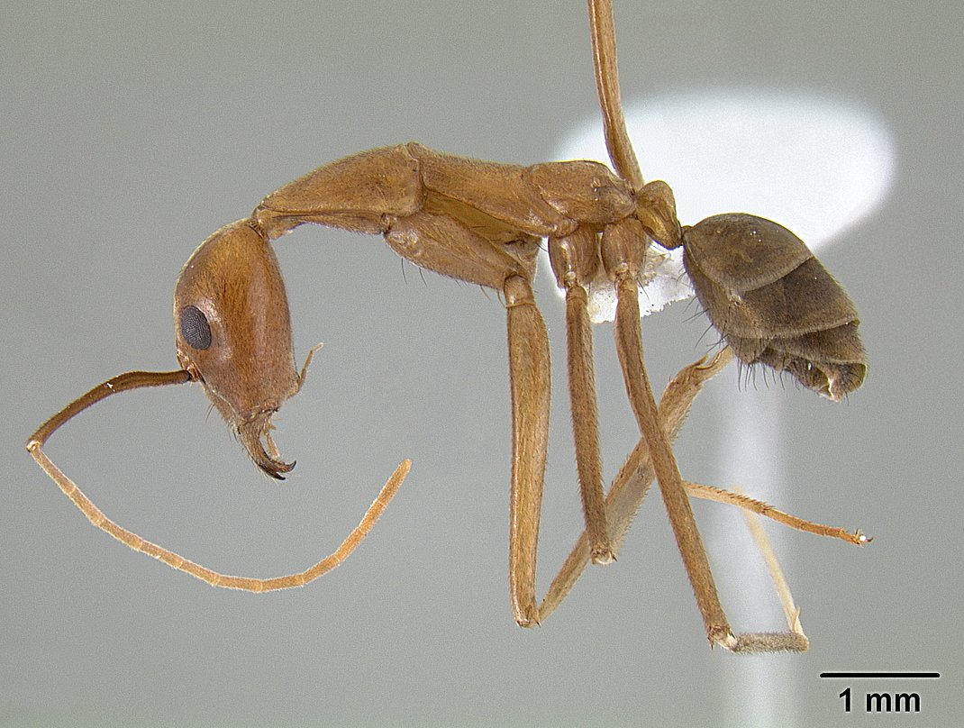 Image of Leptomyrmex puberulus