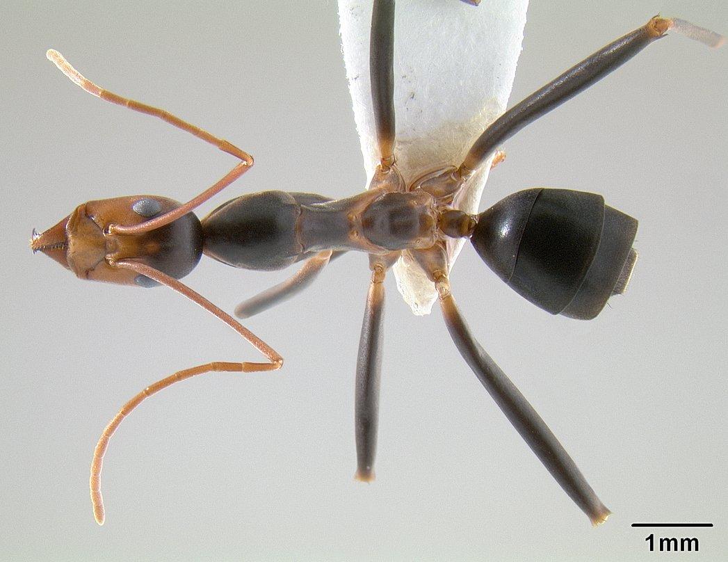 Image of Leptomyrmex wiburdi