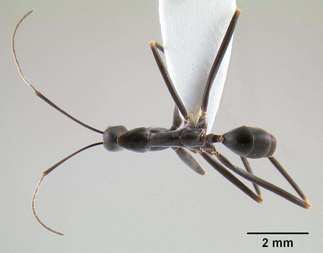 Image of Leptomyrmex mjobergi