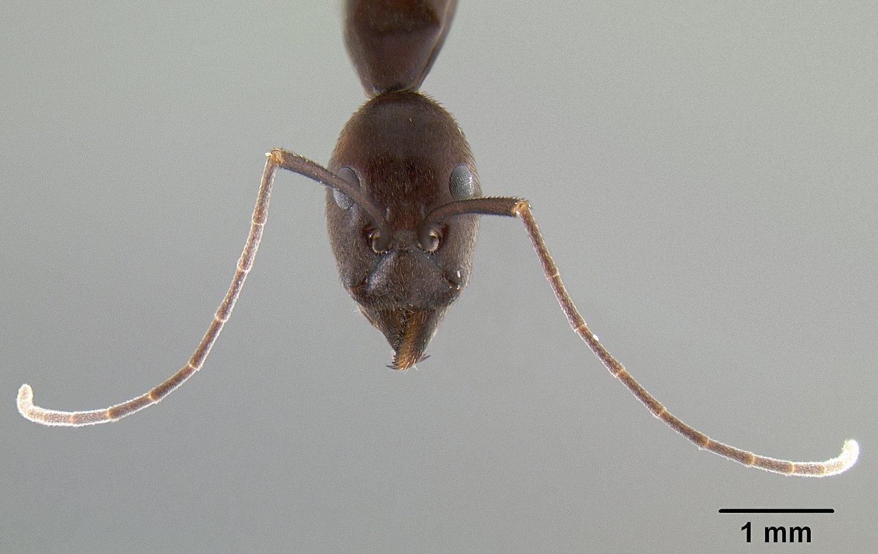 Image of Leptomyrmex flavitarsus