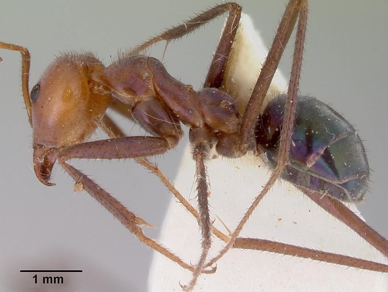 Image of Iridomyrmex galbanus