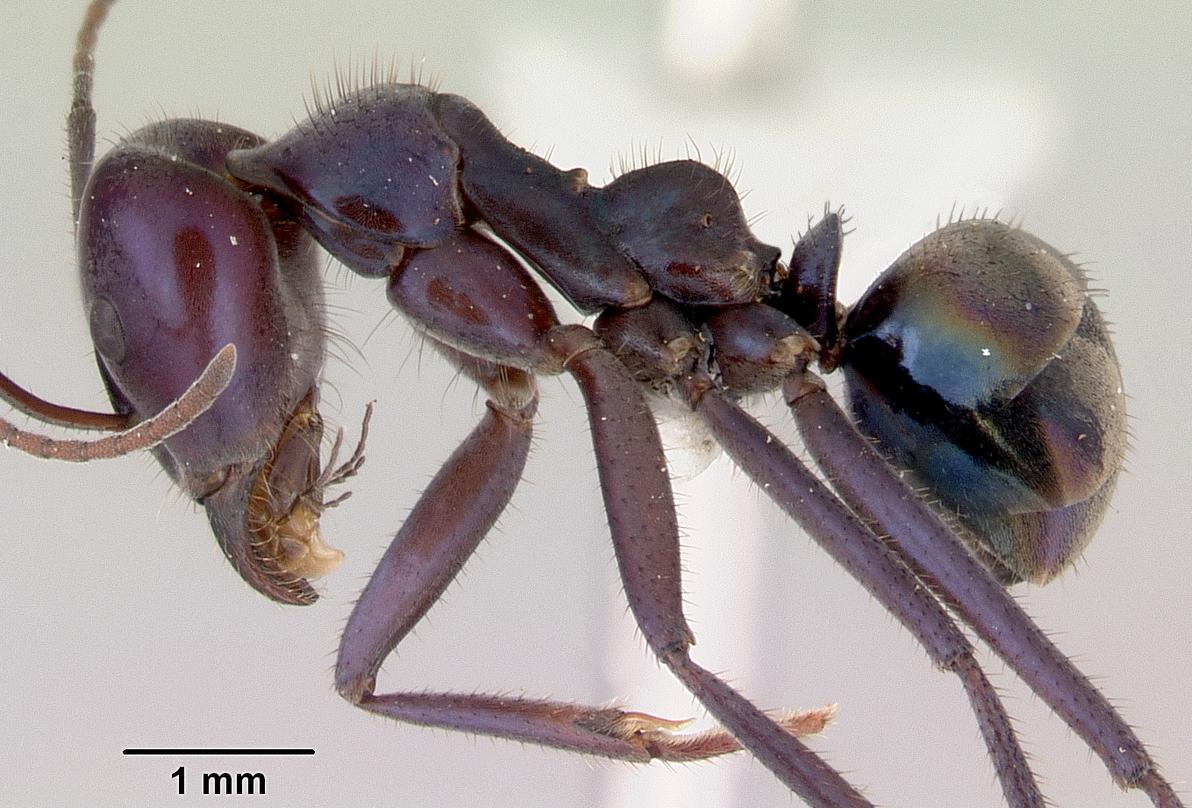 Image of Iridomyrmex lividus