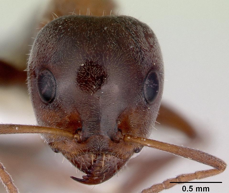 Image of Iridomyrmex anderseni
