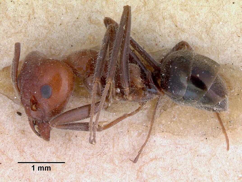 Image of Iridomyrmex discors