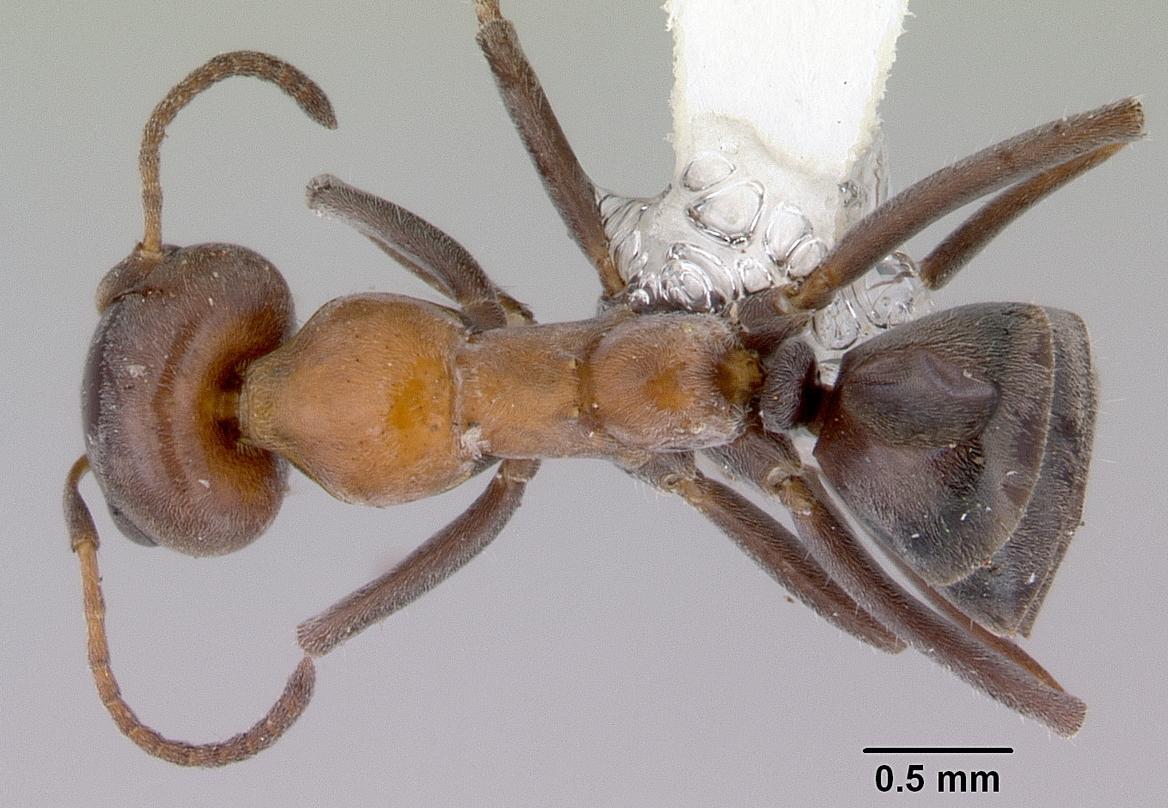 Image of Iridomyrmex viridigaster