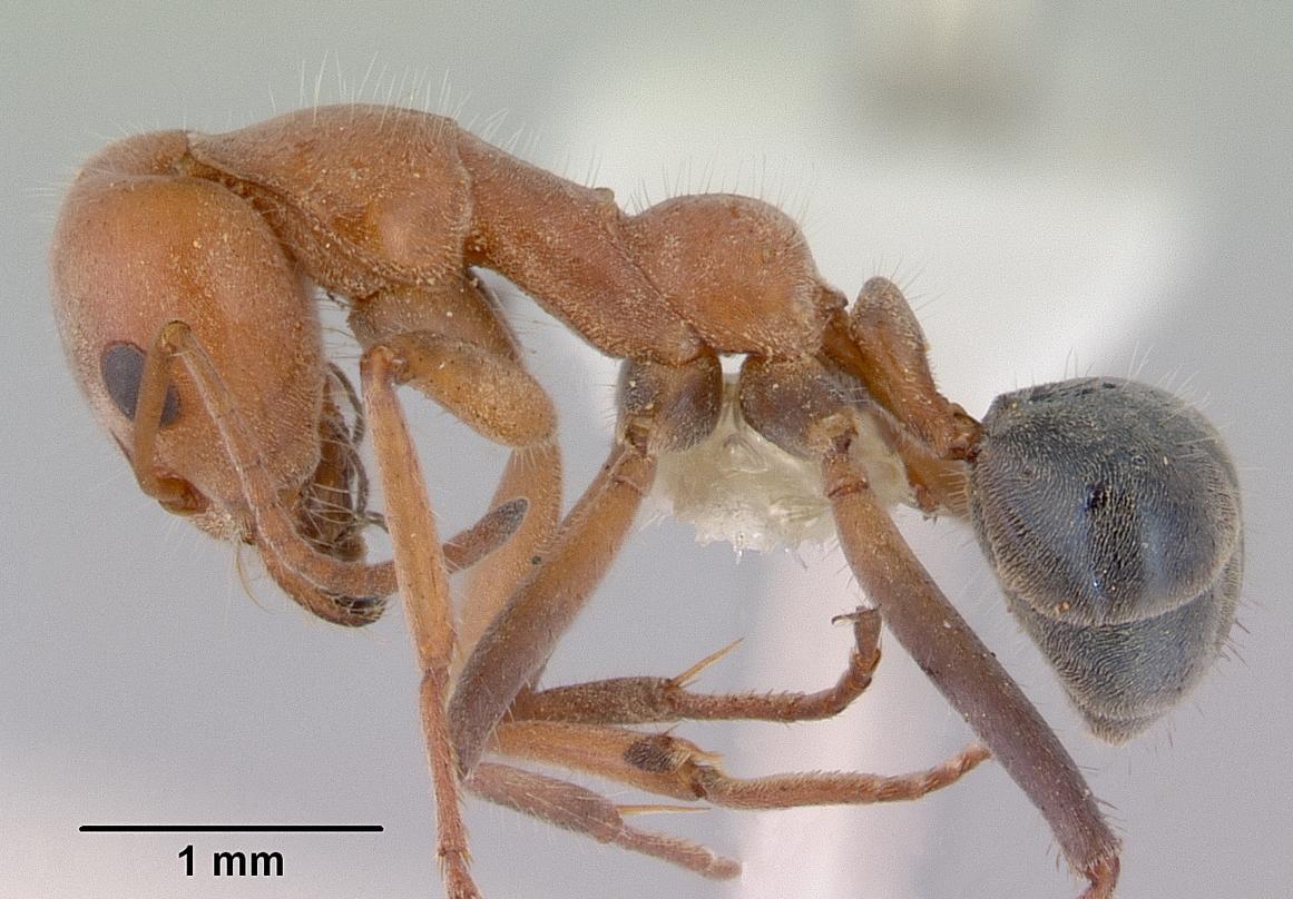 Image of Iridomyrmex rufoinclinus