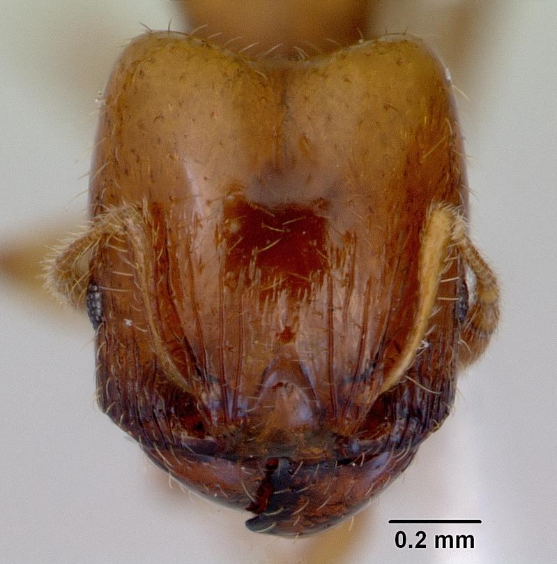 Image of Pheidole proxima