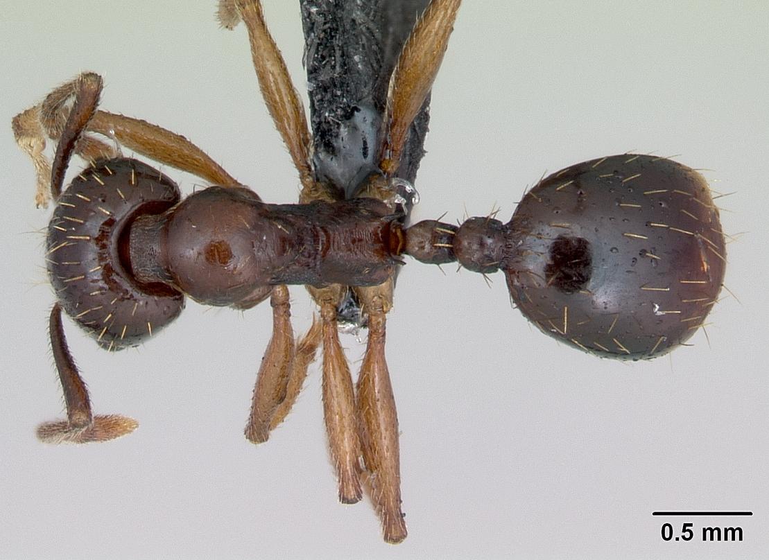 Aphaenogaster subterranea image