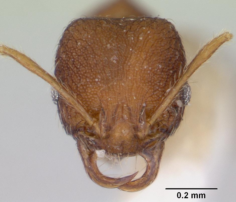 Image of Chimaeridris boltoni