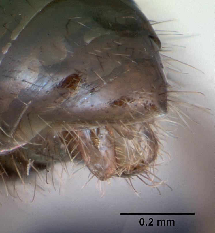 Image of Tapinoma erraticum